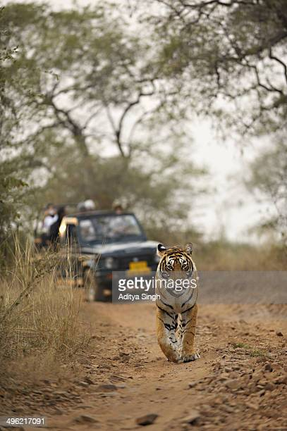 tourists on a tiger safari in india - ranthambore national park stock pictures, royalty-free photos & images
