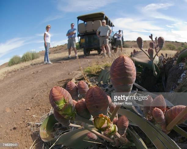 Tourists on Safari Viewing a Welwitschia mirabilis