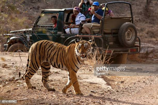 tourists photographing a tiger in ranthambhore national park, rajasthan, india - ranthambore national park stock pictures, royalty-free photos & images