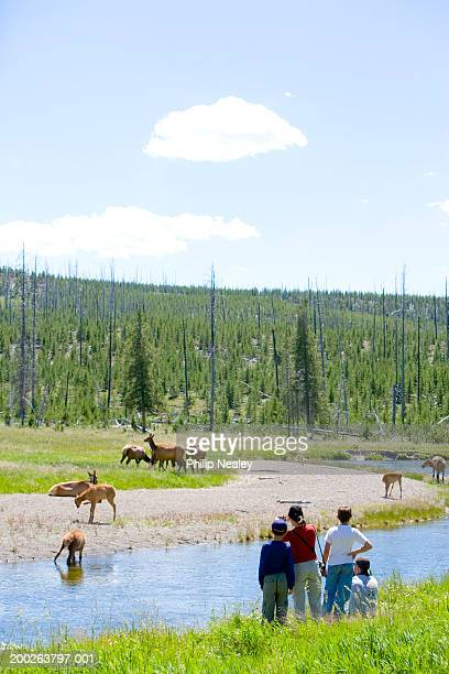 tourists photographing herd of elk (cervus elaphus), rear view, summer - yellowstone river stock photos and pictures