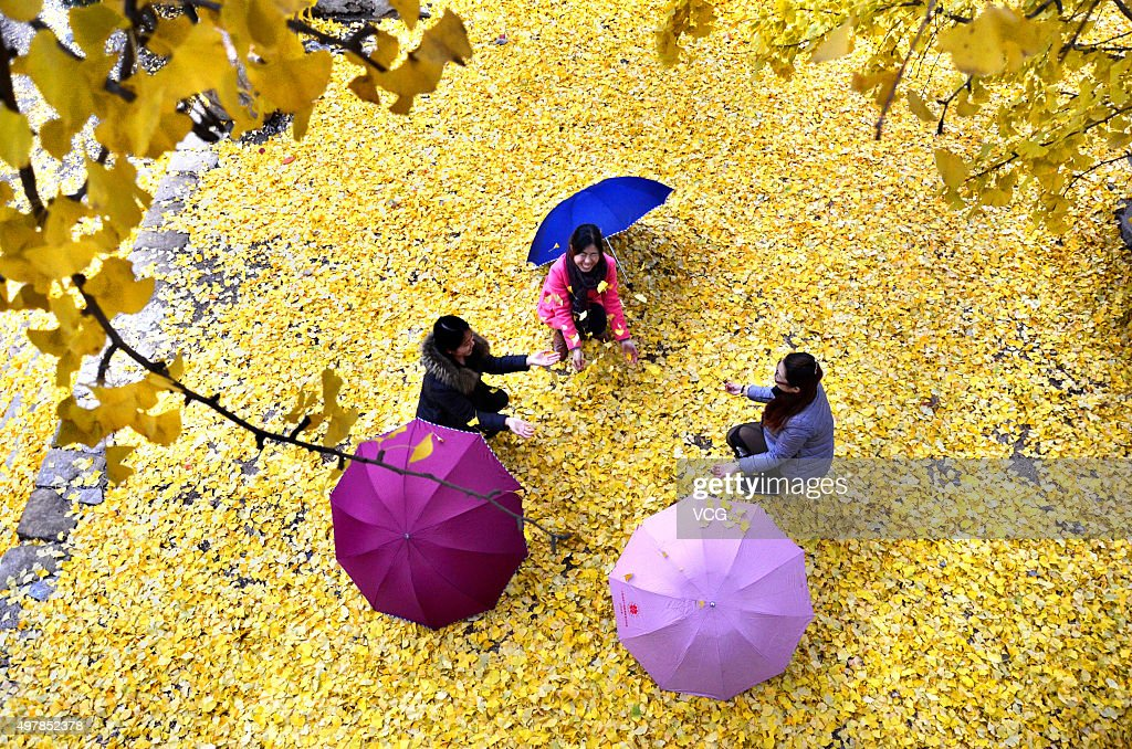 Tourists play under golden ginkgo trees at a scenic resort on November 19, 2015 in Zibo, Shandong Province of China.