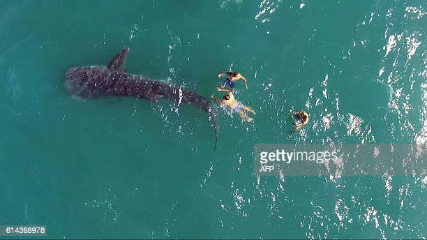 Tourists swim alongside a whale shark at the Sea of Cortez in the Gulf of California Baja California Mexico on October 13 2016 The whale shark is...