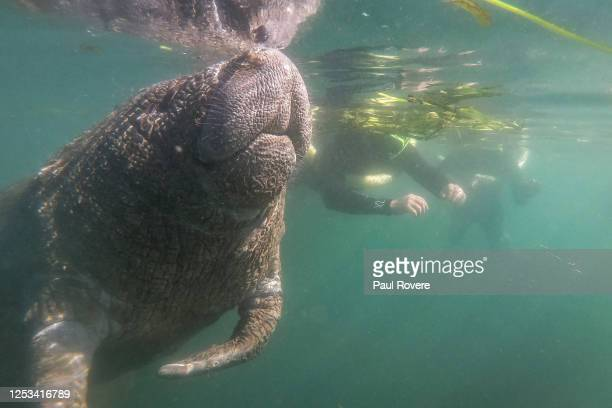 Tourists swim with a manatee in the Crystal River Preserve State Park on January 07 in Crystal River, Florida. Hundreds of manatees head to the...