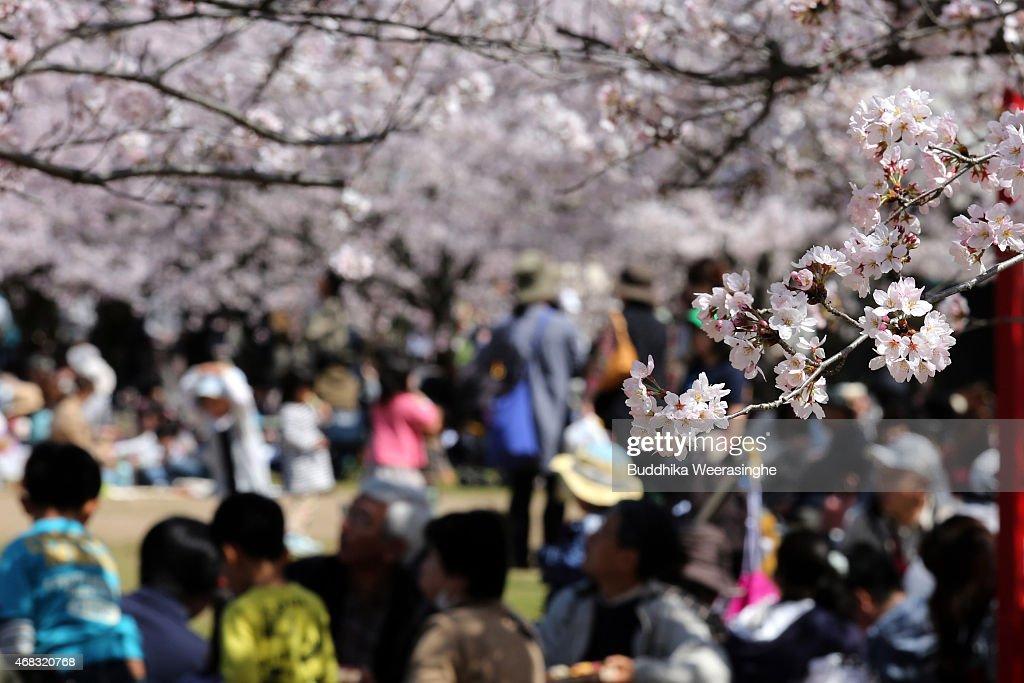 People Enjoy Full Bloom Cherry Blossom In Himeji : News Photo