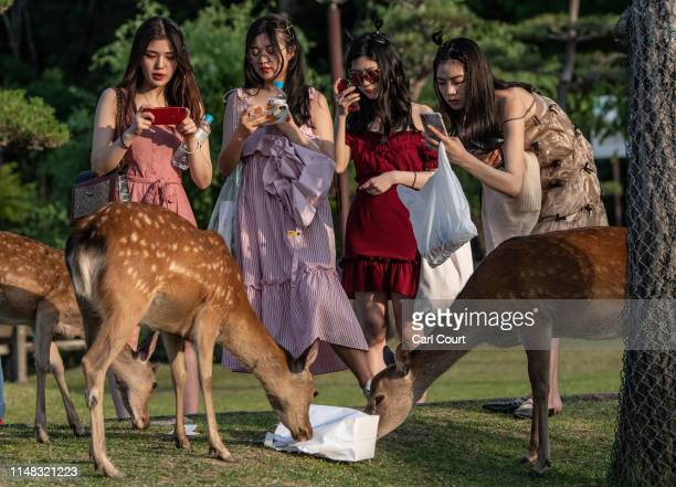 Tourists take photographs as wild sika deer eat a bag on June 6 2019 in Nara Japan Nara's freeroaming deer have become a huge attraction for tourists...