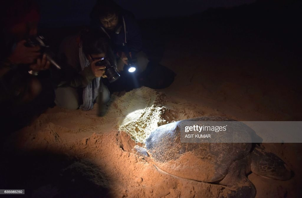 Tourists take photographs of an Olive Ridley Turtle (Lepidochelys olivacea) as she lays her eggs in a hollow in the sand at Rushikulya Beach, some 140 kilometres (88 miles) south-west of Bhubaneswar, early February 16, 2017. Thousands of Olive Ridley sea turtles started to come ashore in the last few days from the Bay of Bengal to lay their eggs on the beach, which is one of the three mass nesting sites in the Indian coastal state of Orissa. / AFP / ASIT