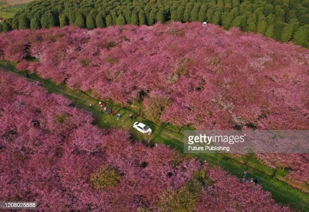Tourists take photos in Begonia flowers, Qingzhen City, Guizhou Province, China, March 19, 2020.- PHOTOGRAPH BY Costfoto / Barcroft Studios / Future...