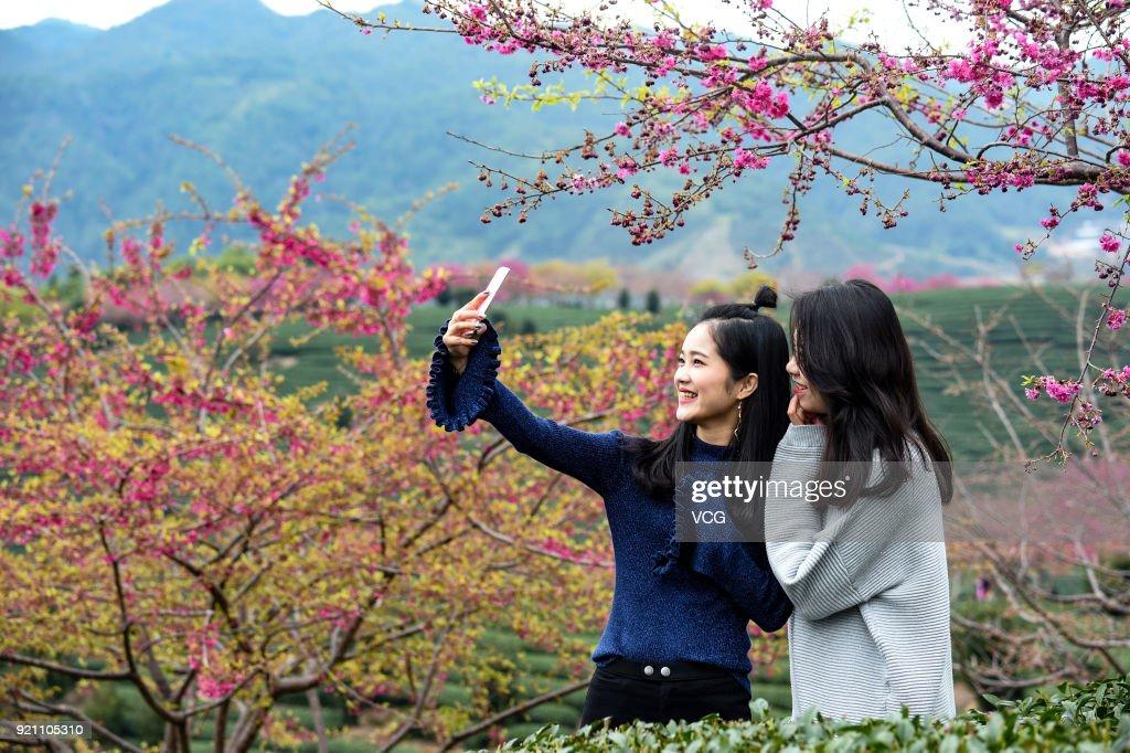 Cherry Bloom At Tea Plantation In Longyan