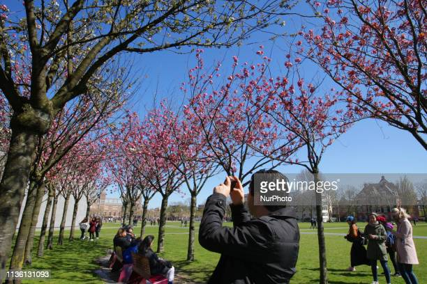 Tourists takes pictures and enjoying the cherry blossom trees during spring time at the Museumplein on April 10 2019 in AmsterdamNetherlands