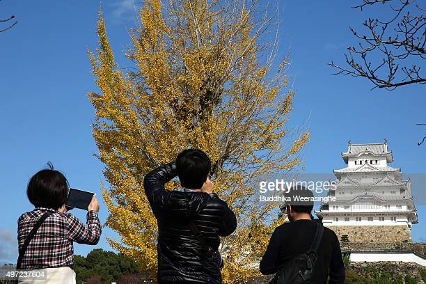 Tourists use their smart phones to take photos of the autumn colours on a Ginkgo tree at the UNESCO World Heritage site Himeji Castle on November 15...
