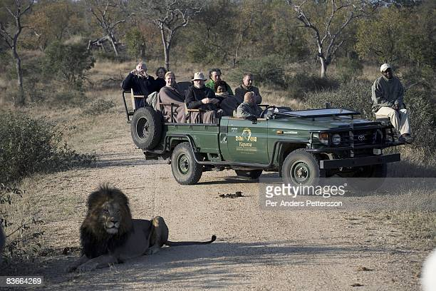 Tourists view a male lion from an open game viewing vehicle at Kalama lodge private reserve on May 18, 2008 in Hoedspruit, South Africa. The area has...