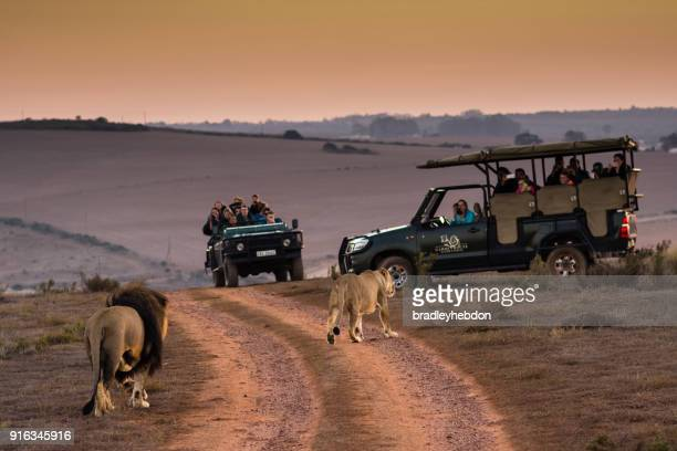 tourists viewing lions on morning safari in south africa - south africa stock pictures, royalty-free photos & images