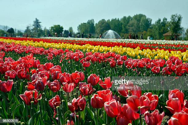 Tourists walk around the flowers in the distance in Siraj Bagh where more than 12 Million tulips are in full bloom on April 7 2010 in Srinagar...