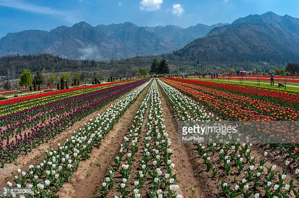 Tourists walk in Siraj Bagh garden where more than two million tulips are in full bloom on March 29 2016 in Srinagar the summer capital of Indian...