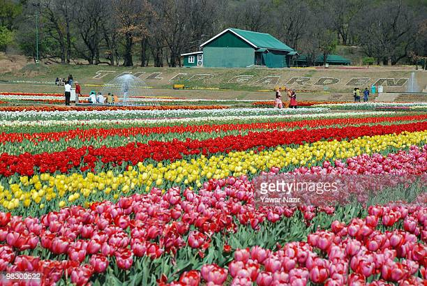 Tourists walk in Siraj Bagh where more than 12 Million tulips are in full bloom on April 7 2010 in Srinagar Kashmir India The largest tulip garden...