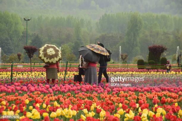 BAGH SRINAGAR SRINAGAR JAMMU KASHMIR INDIA Tourists walks through the bloomed Asia's largest tulip garden in Srinagar during rain Rains lashes the...