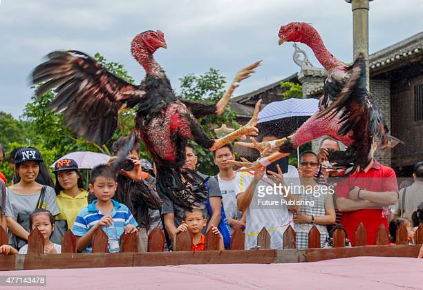 Tourists watch a roosters fight to mark the Cultural Heritage Day at Guangxi Museum of Nationalities on June 13 2015 in Nanning China Feature China /...