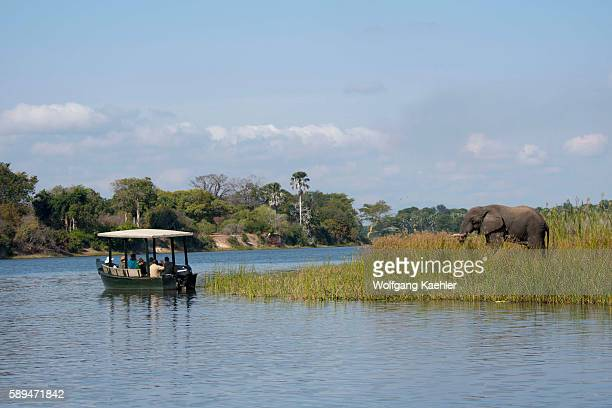 Tourists watching an African elephant bull on the shore of the Shire River in Liwonde National Park Malawi