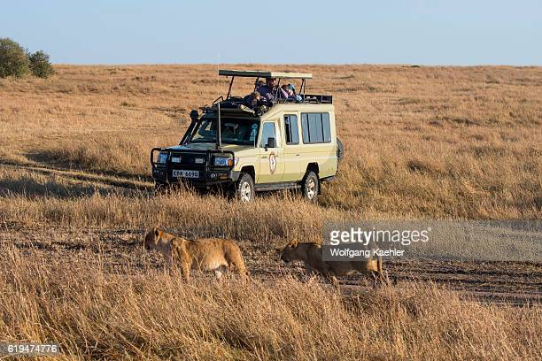 Tourists watching Lions walking through the grasslands of the Masai Mara National Reserve in Kenya