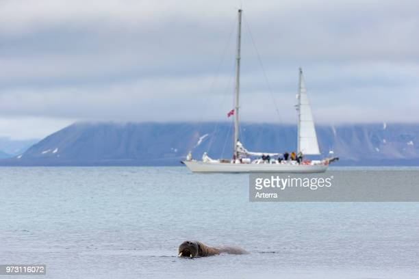 Tourists watching male walrus swimming in sea from sailing ship at Phippsoya in Sjuoyane Nordaustlandet Svalbard Norway