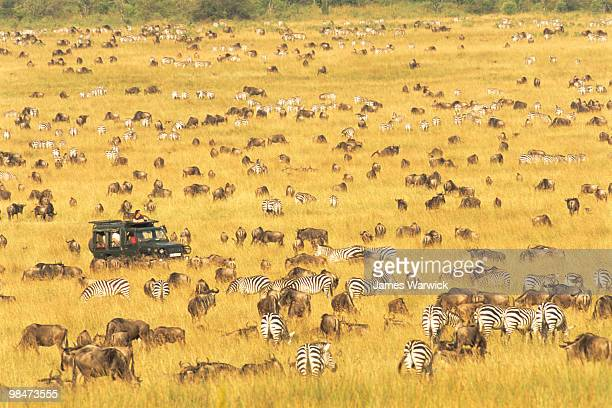Tourists watching wildebeest and zebra migration
