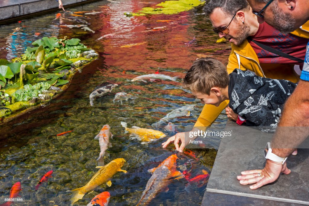 Tourists With Child Feeding Colourful Koi Fish (Cyprinus Rubrofuscus) By  Hand In Japanese Water