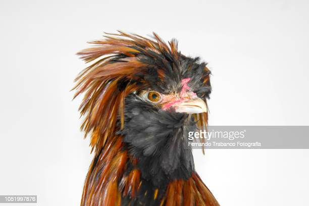 Tousled Rooster