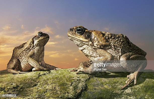 tow cane toads sitting on a rock facing each other - cane toad stock pictures, royalty-free photos & images