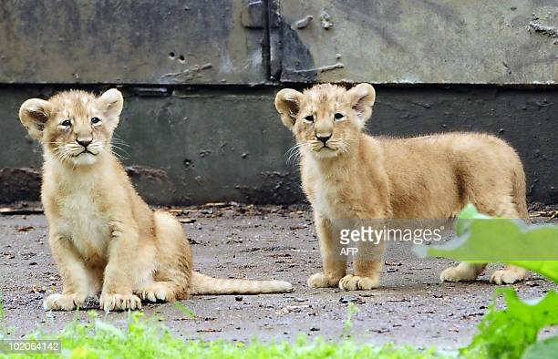Tow of the five cubs of the Asian lioness Koyla are presented at the Planckendael zoo in Mechelen on June 10 2010 Eight weeks ago Koyla gave birth to...