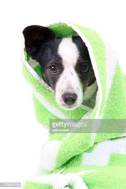 Towel Dried Dog