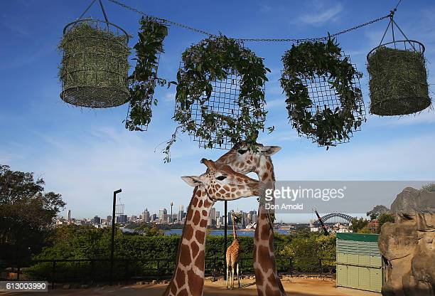 A tower of giraffes graze on food during birthday celebrations at Taronga Zoo on October 7 2016 in Sydney Australia Today marks exactly 100 years...