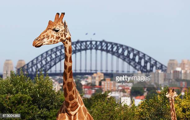 A tower of giraffes wander inside their enclosure during birthday celebrations at Taronga Zoo on October 7 2016 in Sydney Australia Today marks...