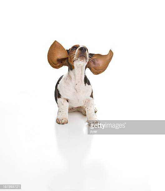 tower to basset. cleared for take off! - basset hound stock pictures, royalty-free photos & images