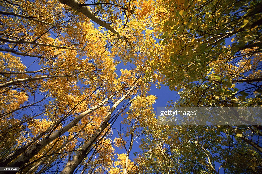 Towering aspen forest in autumn at East Kootenays , British Columbia , Canada : Stockfoto
