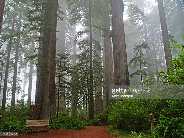 Towering Redwood Giants