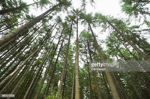 towering trees, hood river, oregon - hood river stock pictures, royalty-free photos & images