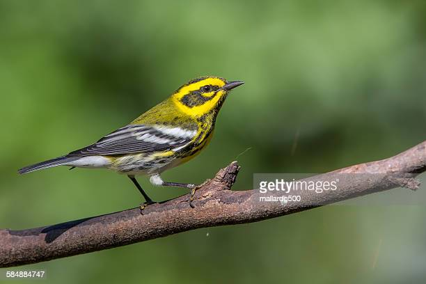 townsend's warbler - warbler stock pictures, royalty-free photos & images