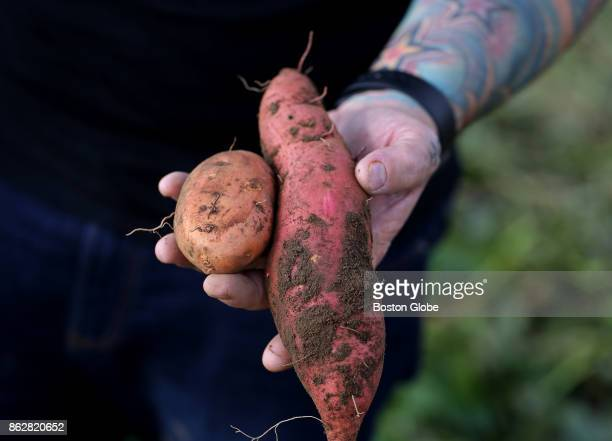 Townsman chef Matt Jennings holds vegetables at Ward's Berry Farm in Sharon MA as he tours the farm to purchase items for his restaurant on Sep 28...
