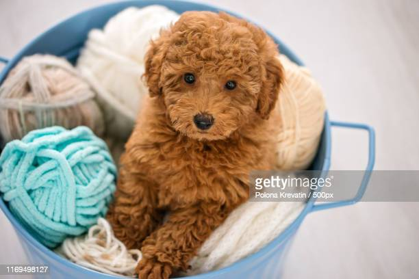 toy poodle dog in basket with balls of wool - caniche toy photos et images de collection
