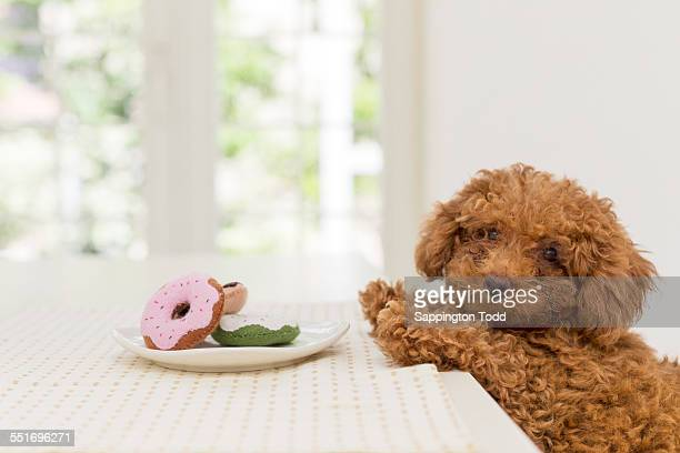 Toy Poodle Eating Doughnut At Home