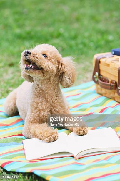 Toy poodle in a park