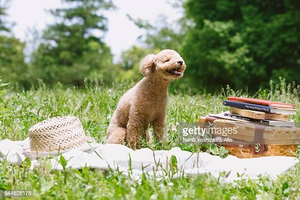 toy poodle in a park - caniche toy photos et images de collection