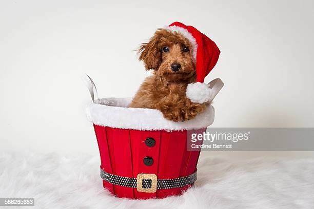 Toy Poodle in a Santa basket
