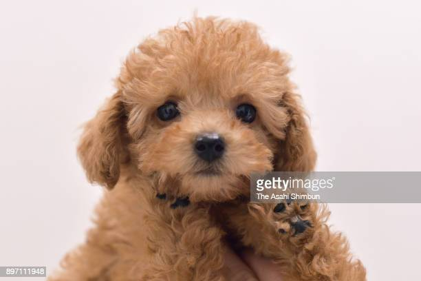 A toy poodle on December 21 2017 in Osaka Japan The number of pet cats surpasses that of dogs for the first time according a survey starting in 1994