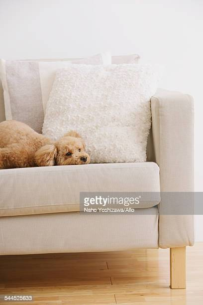 Toy poodle on sofa