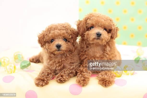 toy poodle pets - caniche toy photos et images de collection