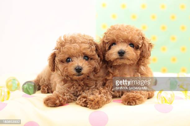 Toy Poodle pets