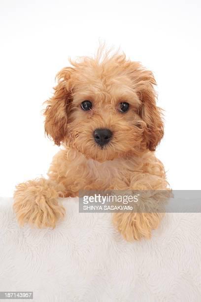 toy poodle - caniche toy photos et images de collection