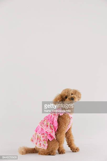 toy poodle - pink dress stock photos and pictures