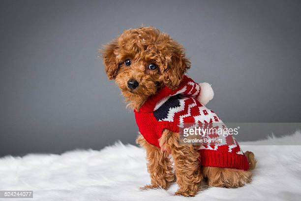 Toy poodle puppy in a red sweater